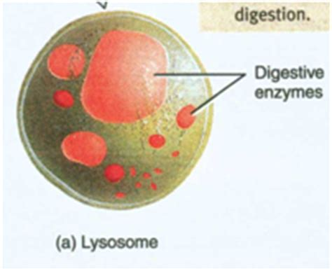3dbiology / Animal Cell Graphics
