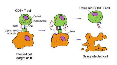 File:CD8+ T cell destruction of infected cells