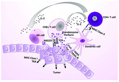 The normal immune response against virus infections