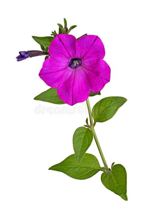 Stem With A Magenta Petunia Flower Isolated On White Stock