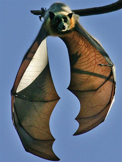 Sydney tries to evict troublesome fruit bats with aural