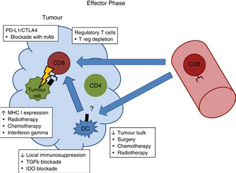 Effector phase of anti-tumour CD8 cytotoxic T cells