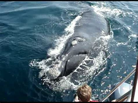 do Whale Watching in Hermanus (near Cape Town) with Percy