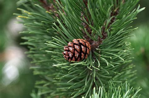 Should You Plant Pine Trees in Your Yard?