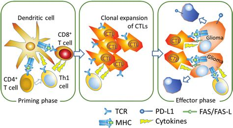 Induction of activated CD8+ cytotoxic T lymphocytes (CTLs