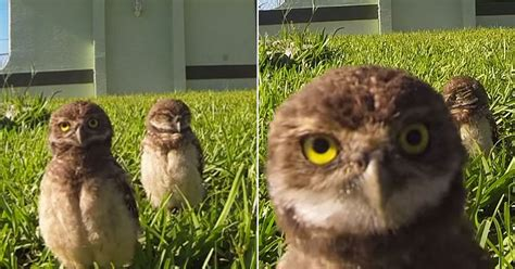 These adorable baby owls in epic 'dance off' are VERY cute