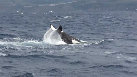 ORCAS with Futurismo Azores Whale Watching - YouTube