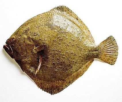 Turbot Photo, Detailed about Turbot Picture on Alibaba